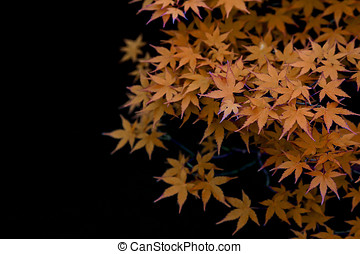 Elm - Isolated close up of a bonzai elm tree leaves, in...