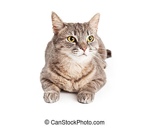 Domestic Shorthair Tabby Cat Looking Up