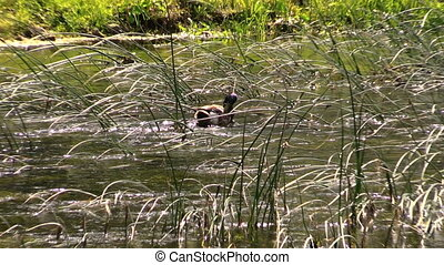 duck river water - Male duck bird blow her feather and...