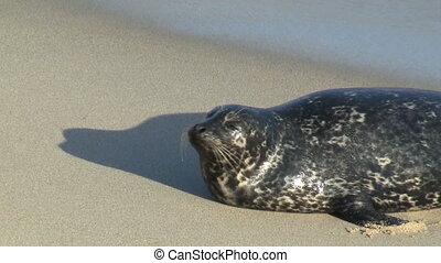 Wild Seal Yawning - Wild Seal yawning