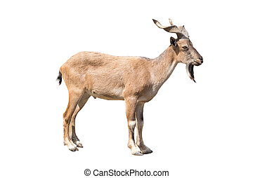 Markhor isolated on the white background, The markhor is a...