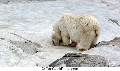 Family of polar polar bears - a she-bear with bear cubs on...