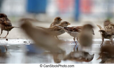 Many sparrows jump on a big pool