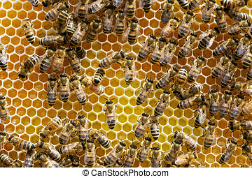 Honey Bees - Hundreds of honey bees on a plastic tray