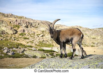 goat on rock - goats at gredos mountains in avila spain