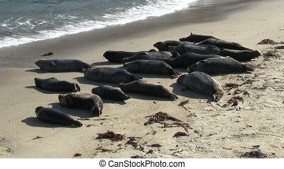Wild Seals On Beach