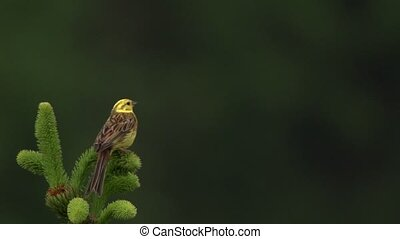 yellowhammer Emberiza citrinella singing on a tree