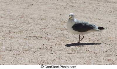 One leg Gull on the beach, is on the beach and looking for...