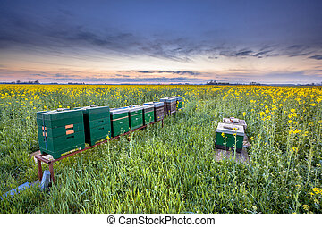 Row of Beehives in a rapeseed field - Row of Bee hives in a...