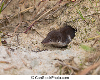 Bicolored White-toothed Shrew - The Locally Endangered...