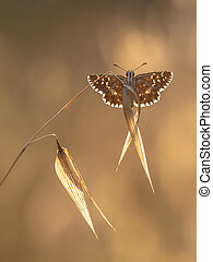 Grizzled Skipper Butterfly Pyrgus malvae on Grass Spike on...