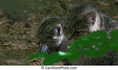 Wildcats - young and adult
