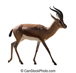 full length of Dorcas gazelle on white background - full...