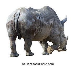 white rhinoceros(Ceratotherium simum). Isolated over white...