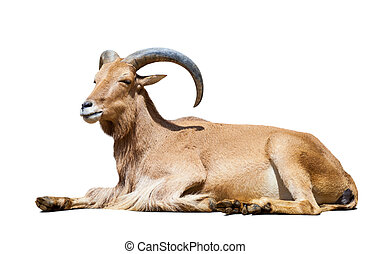 Ibex Spanish Isolated over white background with shade