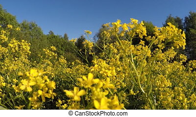 Field with yellow flowers.