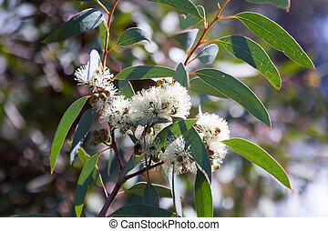 blossoming soap mallee Eucalyptus diversifolia plant in...