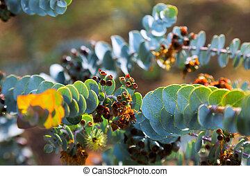 Eucalyptus krueseana leaves - Closeup of Eucalyptus...