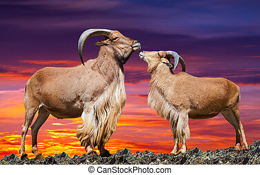 couple of sheeps in sunset - couple of sheeps on rock in...