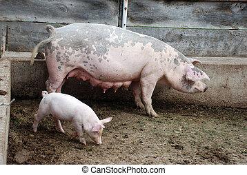 Piglets and mother pig