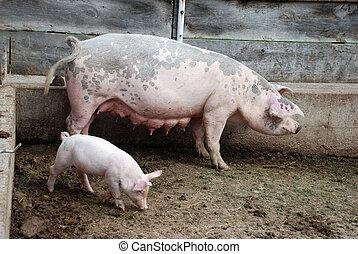 cerditos, madre, cerdo