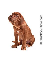 Cute little pupply - Dogue de bordeaux puppy