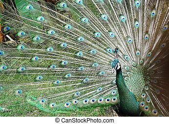 peacock spread tail-feathers