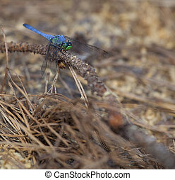 Blue dragonfly with green on its face on a dead pine branch