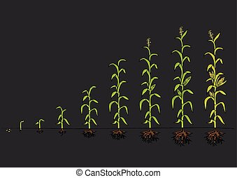 Maize Development Diagram Stages of growth - Maize...