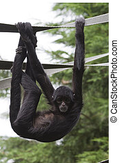 Black Spider Monkey Ateles paniscus playing on rope