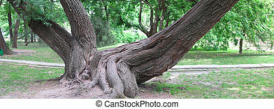 Huge roots of an old tree in green park, panorama image