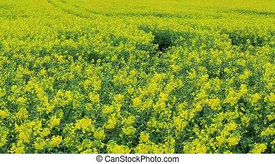 Yellow rapeseed flowers in field
