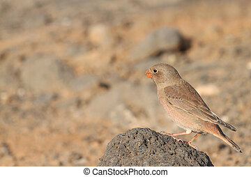 Trumpeter Finch Budanetes githagineus amantum from...