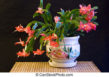 Christmas cactus - A studio image of a Christmas cactus in a...