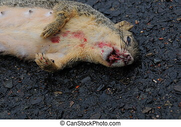 Roadkill - Dead squirrel on wet road with blood on mouth