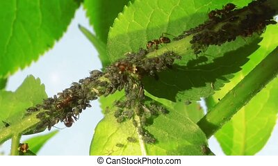 Ants Farming Aphids on Back of the Green Plant
