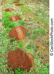 Gopher mole mounds  hills on green grass