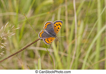 Small Copper butterfly (Lycaena phlaeas)