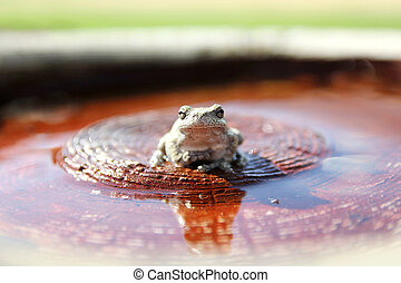 Grey Tree Frog Sitting in Bird Bath in Garden - A female...