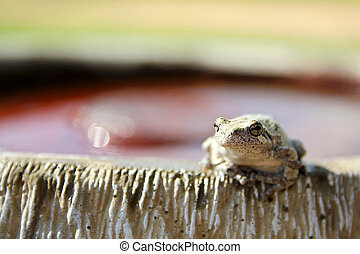 Female Grey Tree Frog Sitting on Bird Bath - A female Grey...