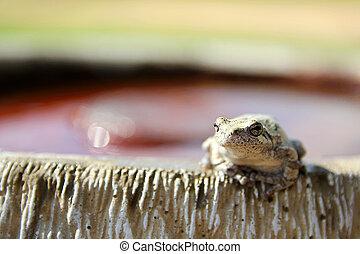 Female Grey Tree Frog Sitting on Bird Bath - A female Grey...