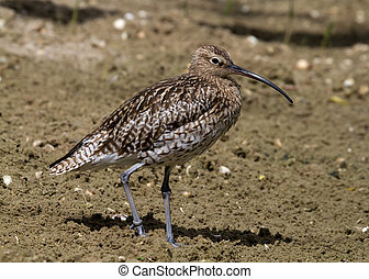 Curlew standing on the soil looking for food