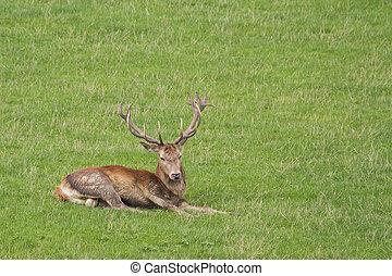 Red deer  (Cervus elaphus) Stag in the meadow