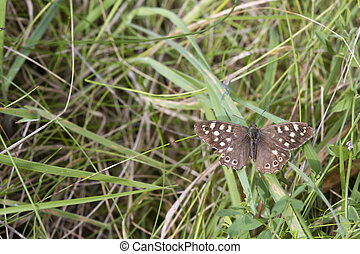 speckled wood butterfly Pararge aegeria perched on a leaf