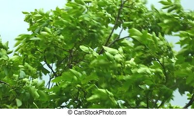 Strong wind blowing a tree - Strong wind blowing a walnut...