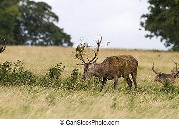 Red deer Cervus elaphus in the wild