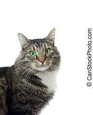 Maine Coon cat with bright green eyes - Maine Coon facing...