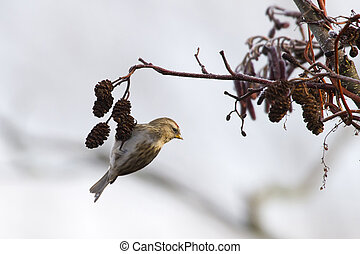 Redpoll Carduelis flammea hanging from a tree branch