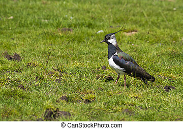 Lapwing Vanellus-vanellus standing on the grass