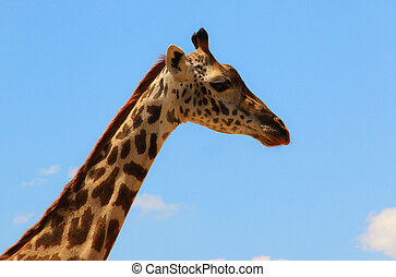 giraffe on sky landscape - giraffe head and neck on blue sky...